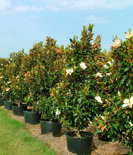 Tree Farm | Wholesale Tree Nursery | CC Tree Farms LLC