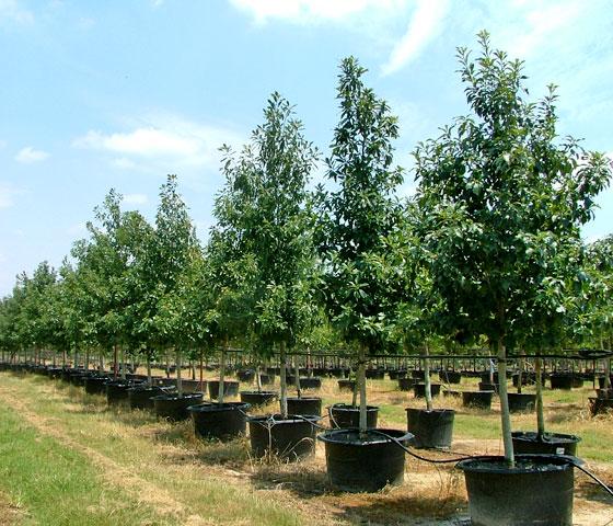 Tree Farm Wholesale Tree Nursery Cc Tree Farms Llc
