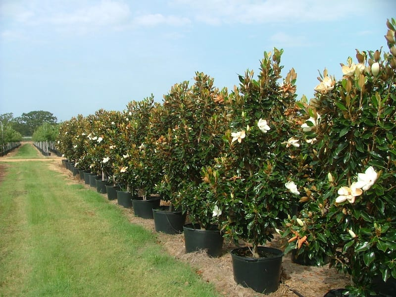 Wholesale Trees For Sale Wholesale Trees Texas Cc Tree